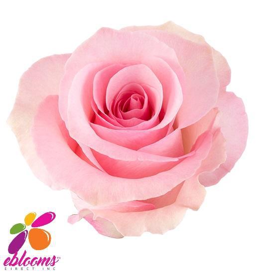<h4>R Gr Christa Pink 50cm EC</h4>