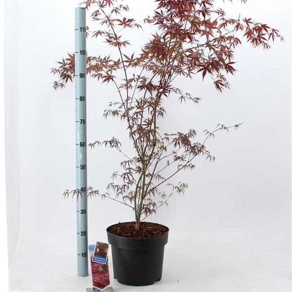<h4>Acer pal.  'Atropurpureum'</h4>