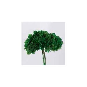 hydrangea / Hortensia olive green stabi