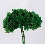 <h4>hydrangea / Hortensia olive green stabi</h4>