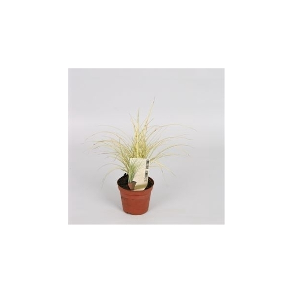<h4>Carex brunnea Jenneke</h4>