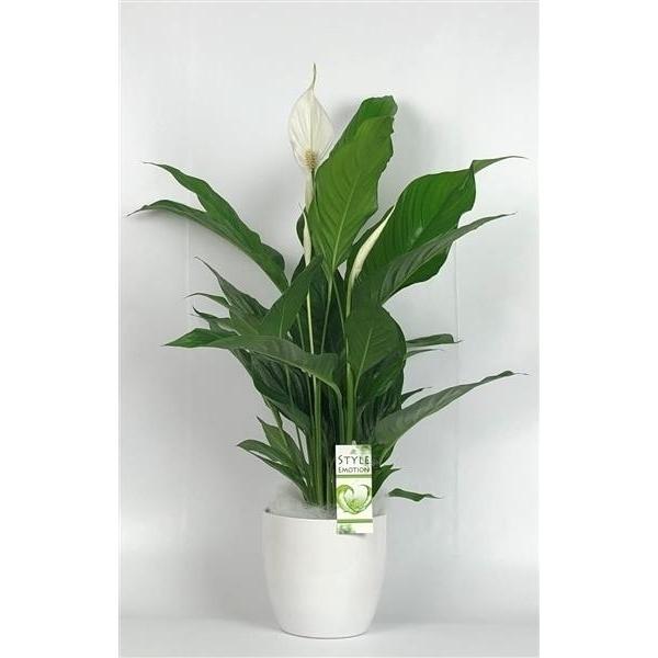 <h4>Spathiphyllum Sweet Silvio 14cm in Basel  keramiek wit</h4>