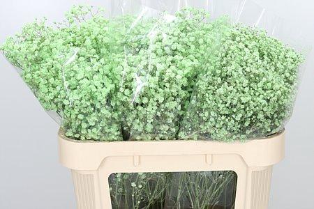 <h4>Gyps Klbh Xlence Mint Green</h4>