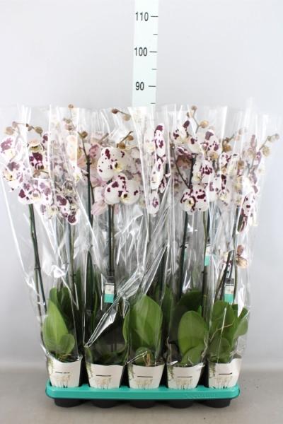 <h4>Phalaenopsis  'FC Polka Dots'</h4>