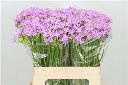Allium Little Pink