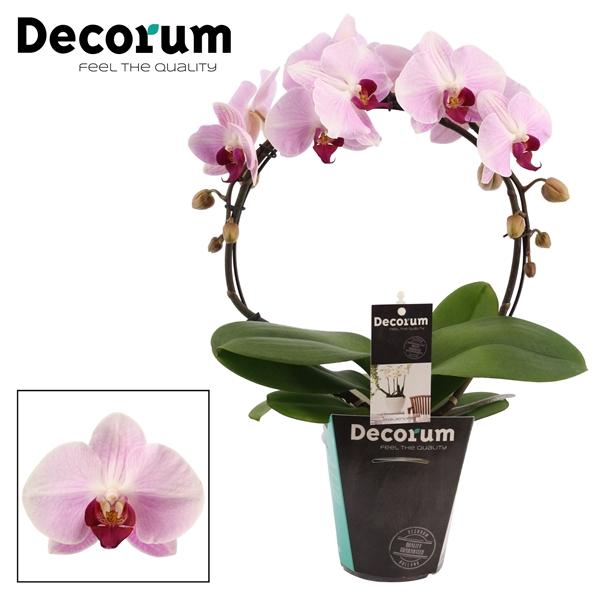 <h4>Phalaenopsis boog Cyrene (Decorum)</h4>