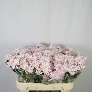 Chrysanthemum spray euro rosa claro
