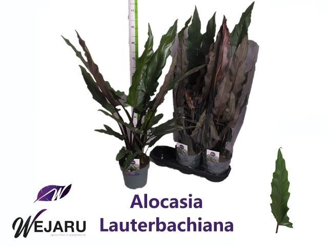 <h4>ALOC LAUTERBACHIANA</h4>