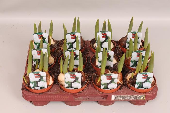 <h4>Bol op pot Tulip Wit</h4>