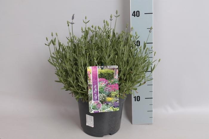 <h4>vaste planten 19 cm  Lavandula ang. Blue Scent early™</h4>