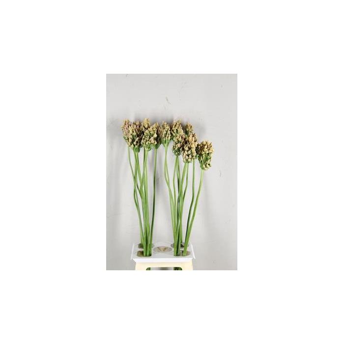 <h4>Allium Rosy Bells Zaaddoos</h4>