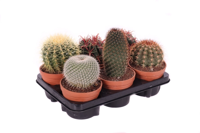 <h4>Cactus overig</h4>