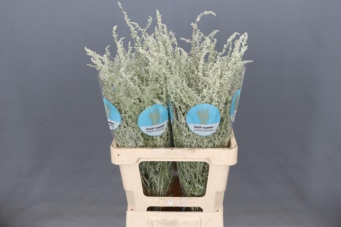 <h4>Amaranthus Silver Spray</h4>