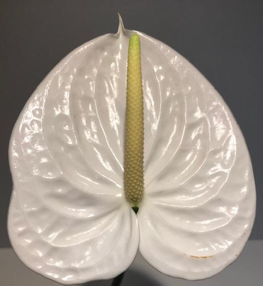 <h4>Anthurium Moments White Medium</h4>