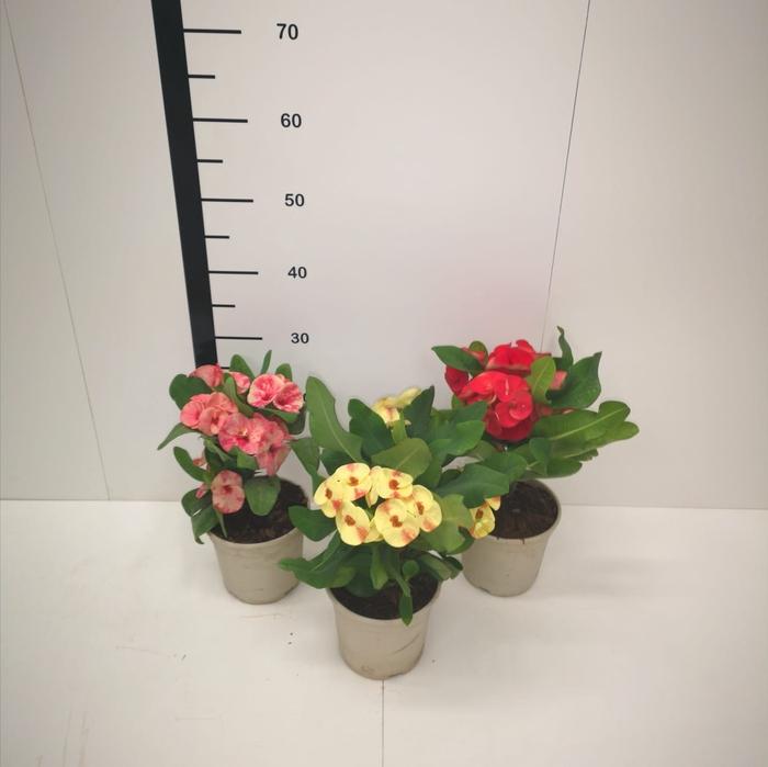 <h4>Euphorbia milli syraya M14</h4>