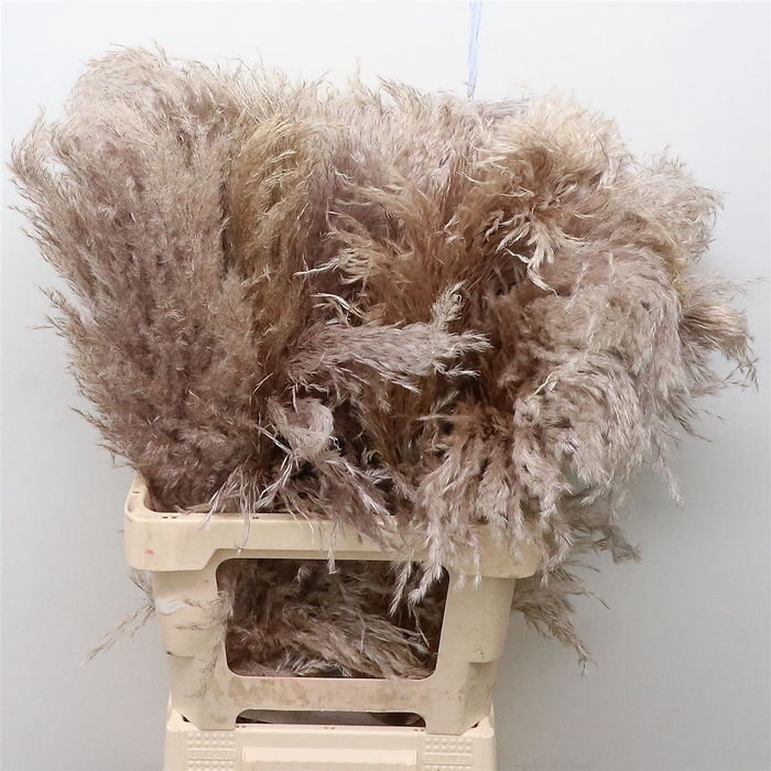 <h4>Corta Dried Selloana Natural 75cm</h4>
