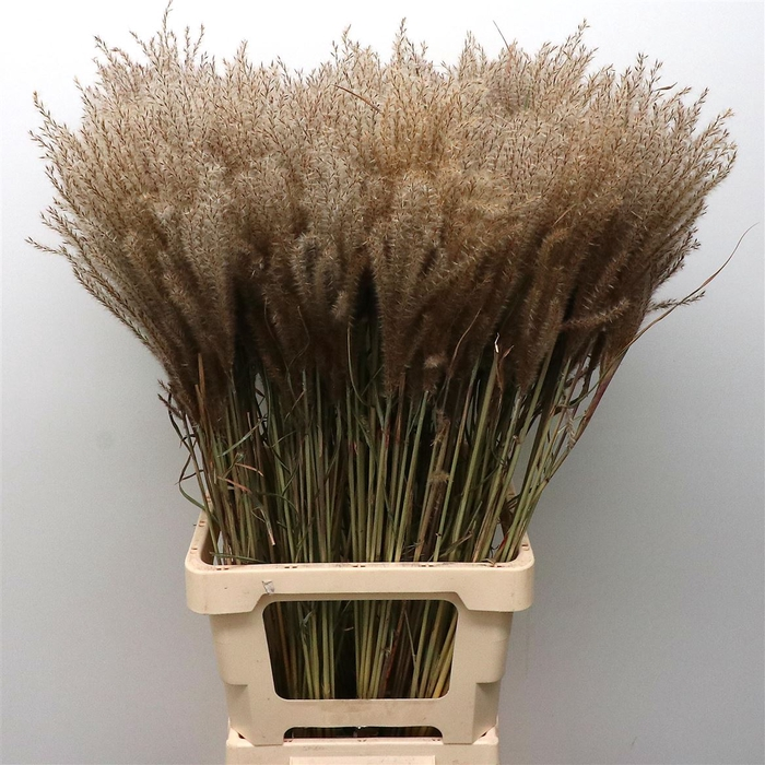 <h4>Dried Miscanthus (10 Stems P/bunch)</h4>