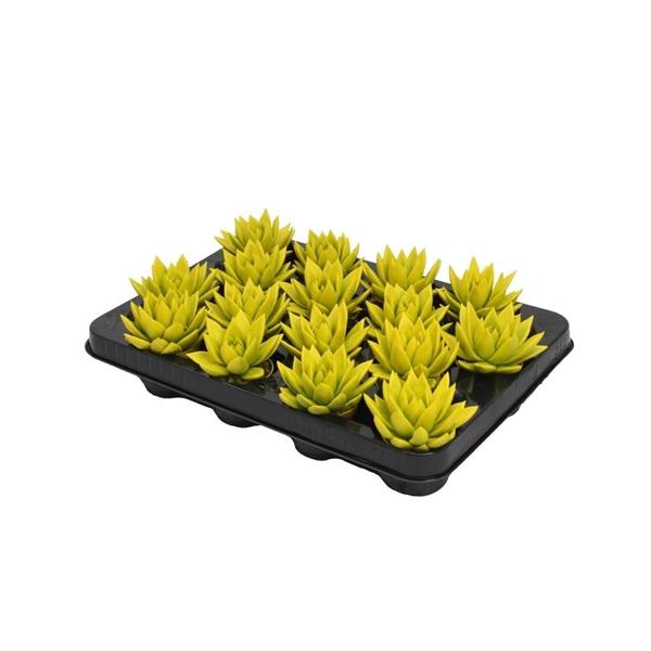 <h4>Echeveria coloured yellow</h4>