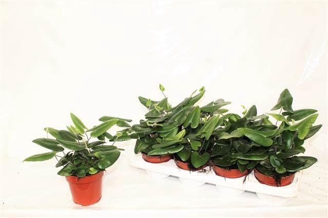 <h4>Hemionitis Arifolia</h4>