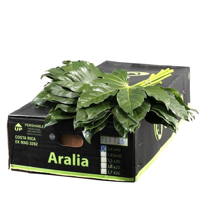 <h4>Aralia CR Gr. Beauty</h4>