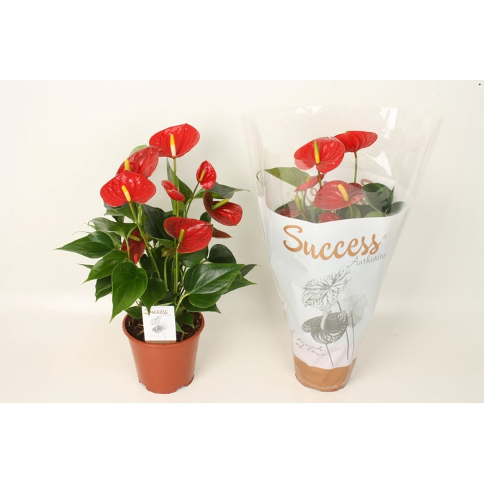 <h4>Anthurium Succes Red - Success</h4>