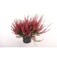 <h4>Calluna vulgaris Beauty Lady® Rood</h4>