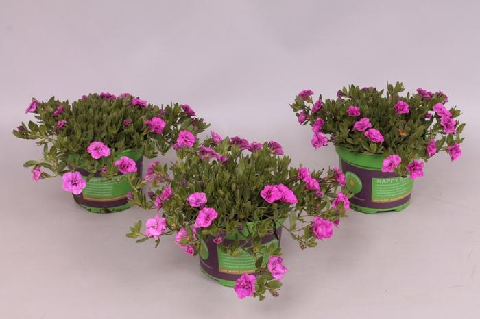 <h4>Calibrachoa MiniFamous Double Pink mania</h4>