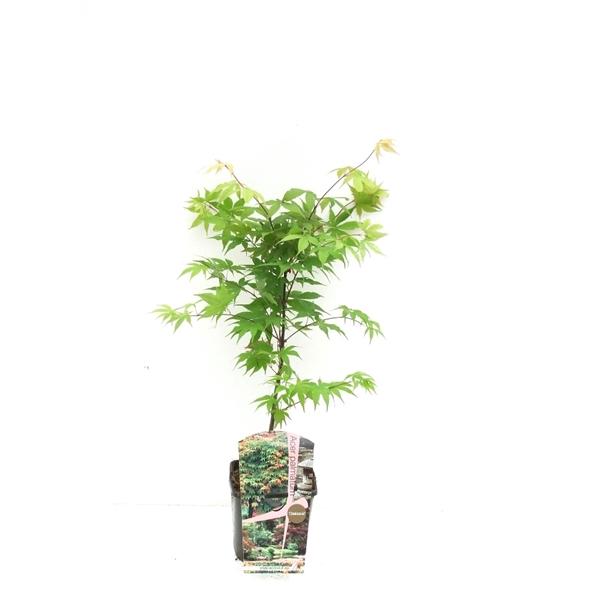 <h4>Acer palm. 'Osakazuki' P19</h4>