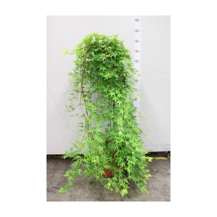 <h4>Acer palmatum 'Ryusen'</h4>
