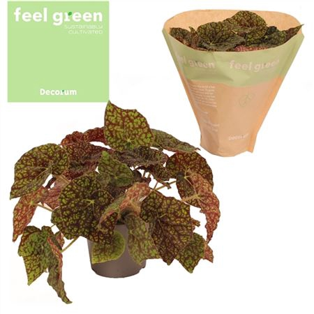<h4>Bladbegonia ''green Fever''</h4>