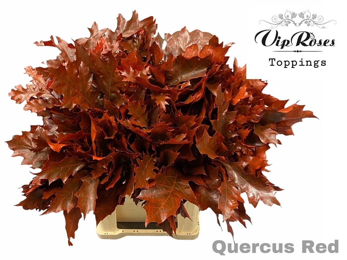 <h4>QUERCUS RED</h4>