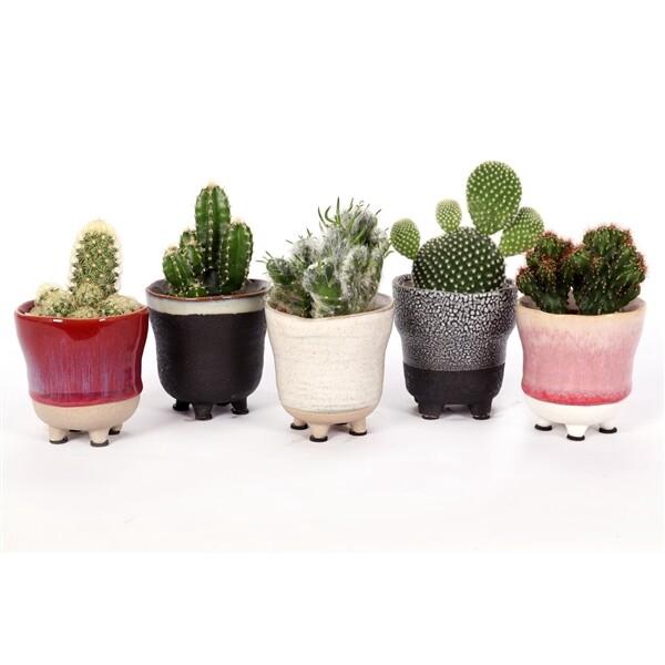 <h4>Cactus</h4>