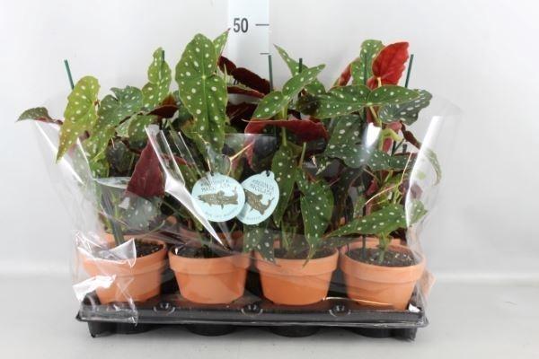 <h4>Begonia BD   ...</h4>