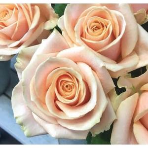 Rosa Pearl Avalanche