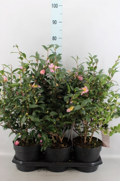 <h4>Camellia sasanqua</h4>
