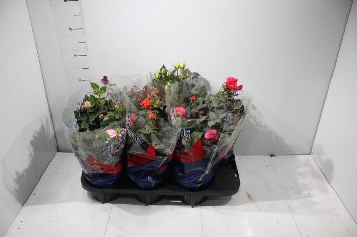 <h4>ROSEIRA MINI P15</h4>