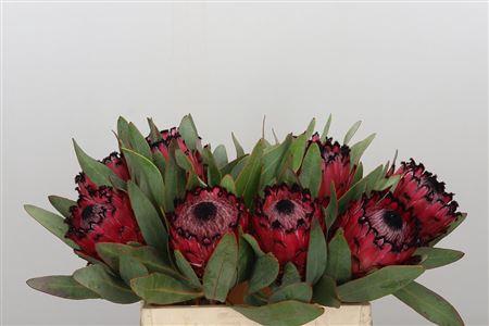 <h4>Protea Barb Ruby Princess</h4>