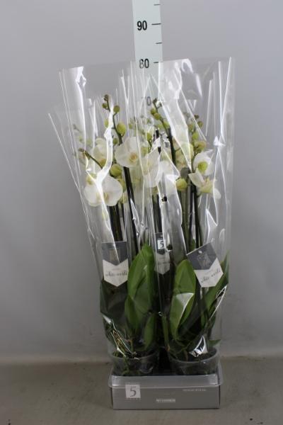 <h4>Phalaenopsis  'White World'</h4>