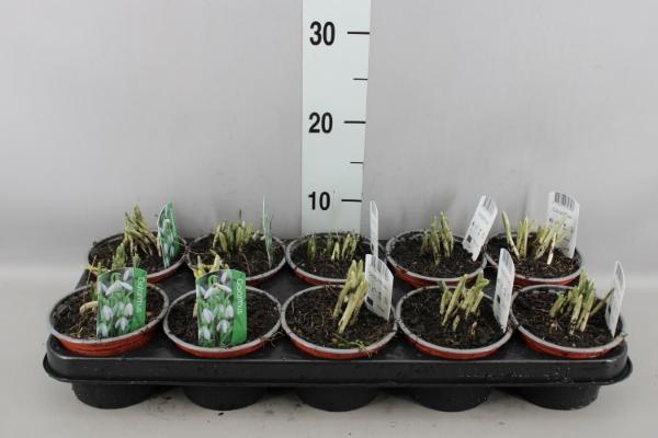 <h4>Galanthus nivalis   ...in pot</h4>