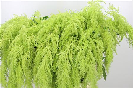 <h4>Amaranthus Hg Green Spider</h4>