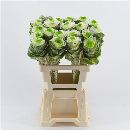<h4>Brassica White-groen</h4>