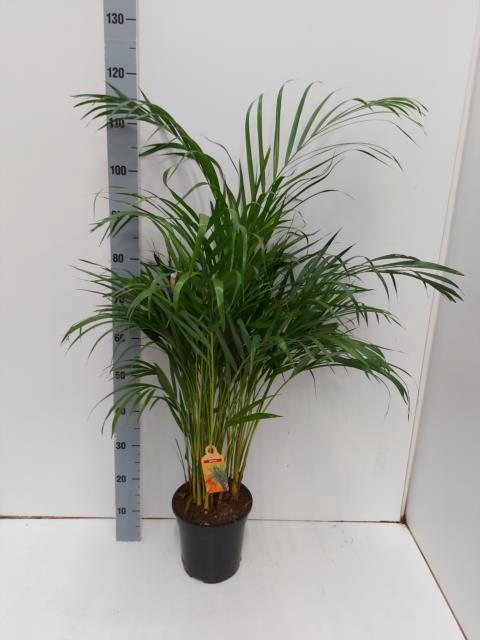 Areca 21Ø 110cm