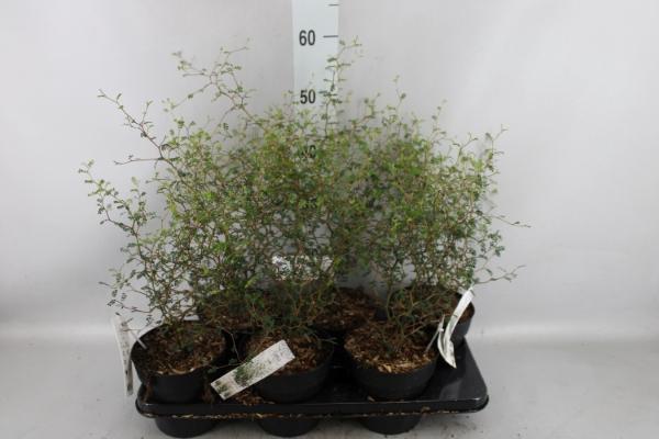 <h4>Styphnolobium japon. 'Little Baby'</h4>