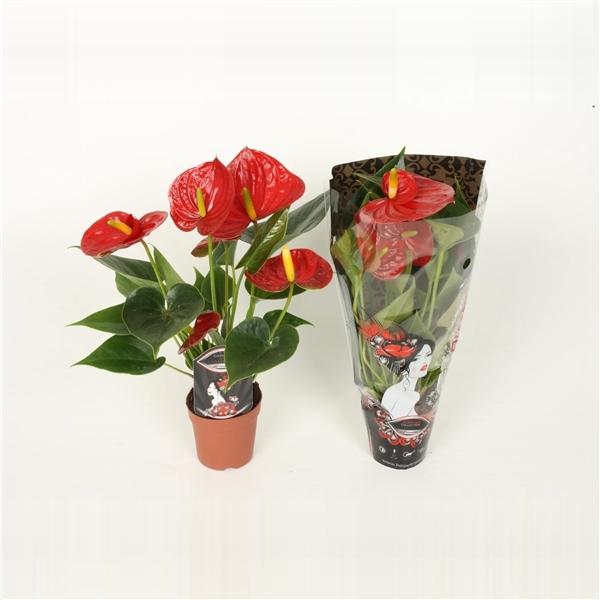 <h4>Anthurium Andr.Diamond Red</h4>