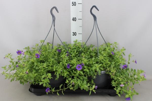 <h4>Calibrachoa  'Minifamous Dk Violet'</h4>
