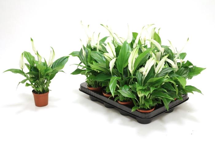 <h4>Spathiphyllum Pearl Cupido</h4>
