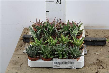 <h4>Aloe Mix</h4>