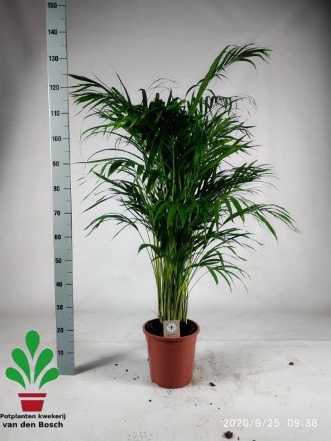 Areca 24Ø 135cm 20pp