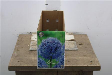 <h4>Bulb Allium Cauruleum X15</h4>