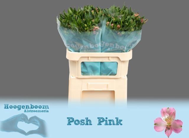<h4>Alstr Posh Pink</h4>